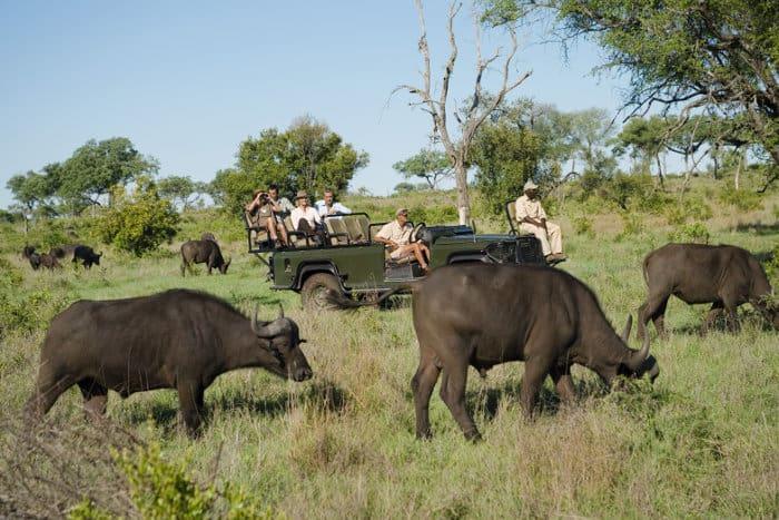 Open safari jeep surrounded by Cape buffalo
