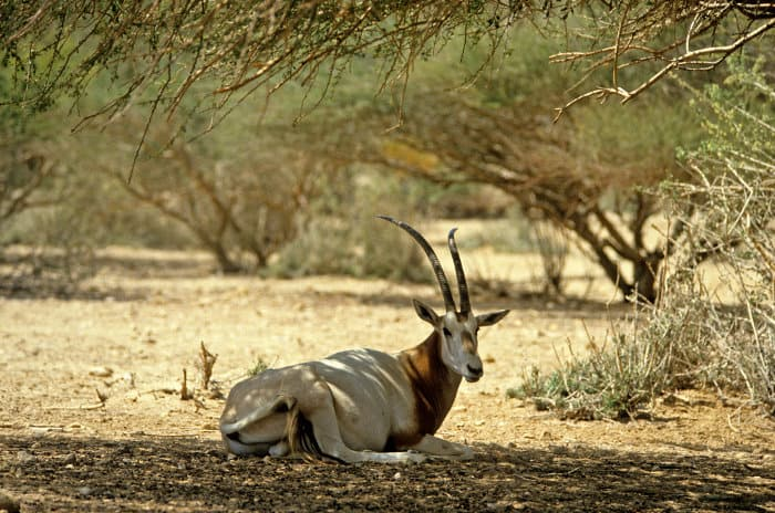 Scimitar oryx resting under a tree