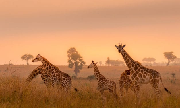 What is a group of giraffes called?