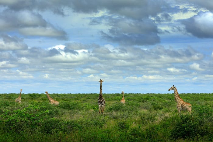 Tower of giraffes in green vegetation, with cloudy sky in the background