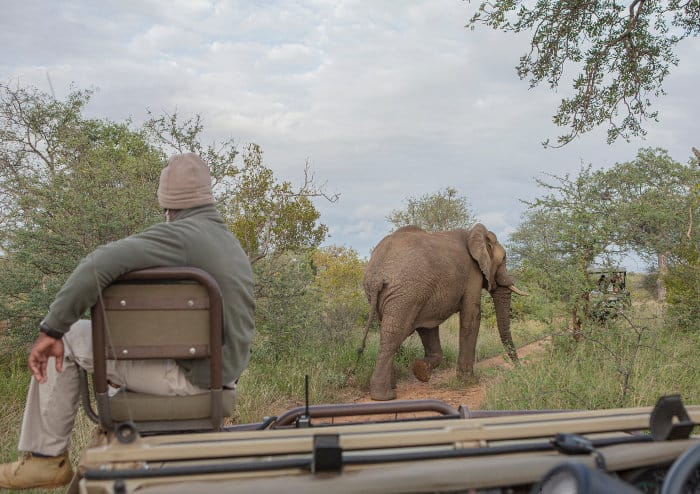 Elephant and tracker in the Kruger National Park, South Africa