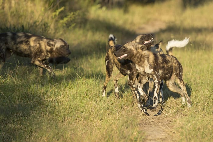 Close encounter with African wild dogs at Mala Mala Game Reserve