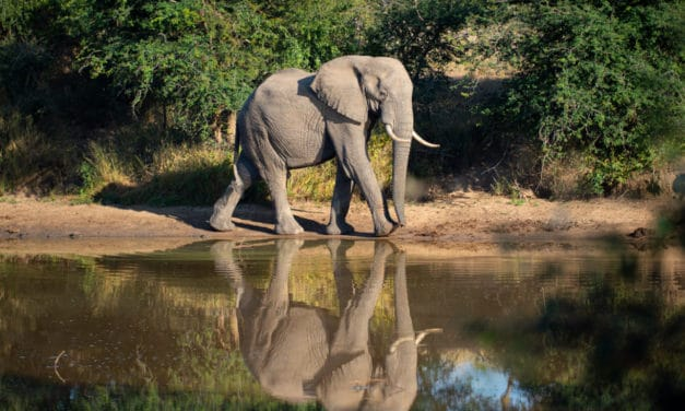 13 African elephant facts – Fun and interesting info on the savanna giant