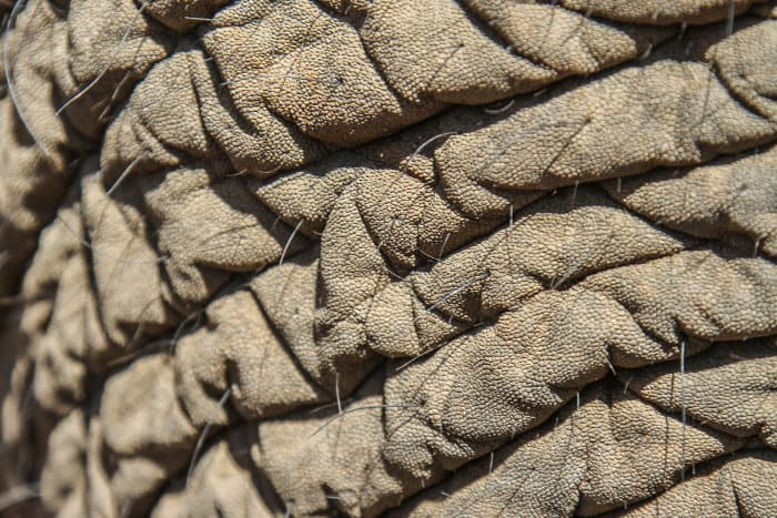 Close-up of an African elephant's thick skin, revealing its numerous cracks and wrinkles