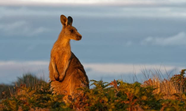 Are there any kangaroos in Africa?