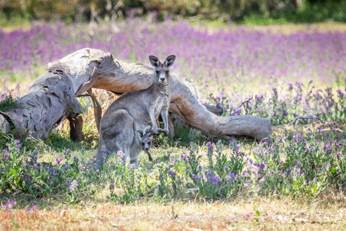 Eastern grey kangaroo mother and joey in Victoria, Australia