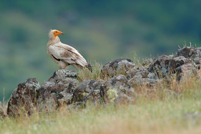 Egyptian vulture standing on some rocks, Madzharovo, Bulgaria