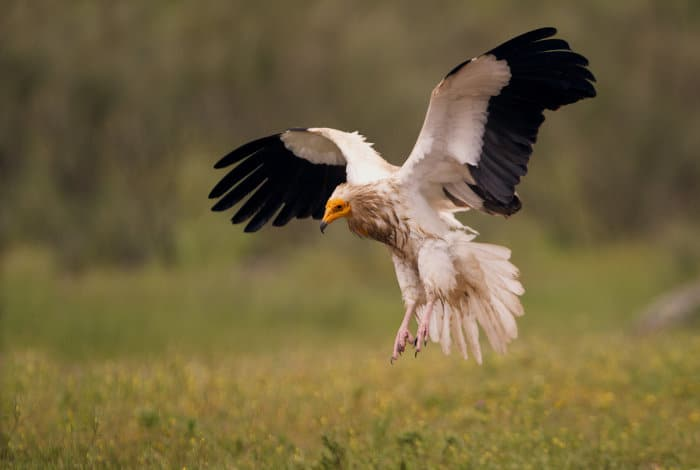 Egyptian vulture landing on firm ground