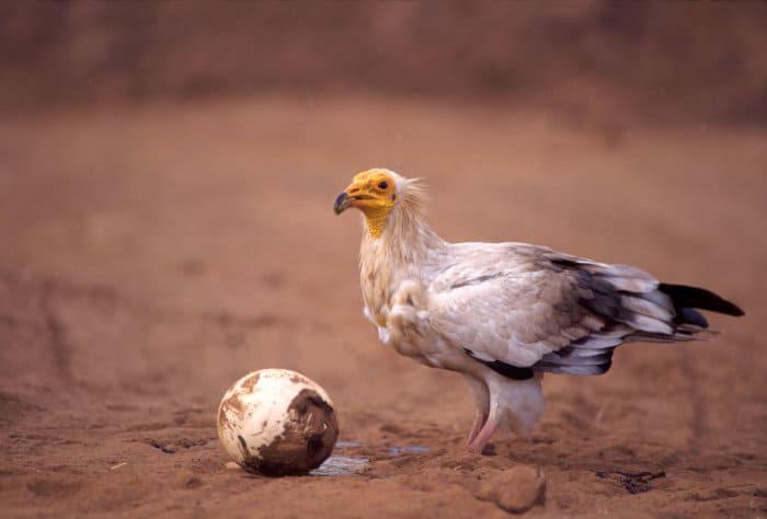 Egyptian vulture feeding on an ostrich egg in Nairobi National Park, Kenya