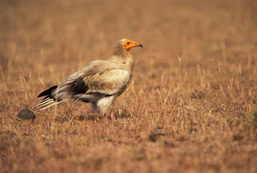 Egyptian vulture – 12 facts about the gier eagle