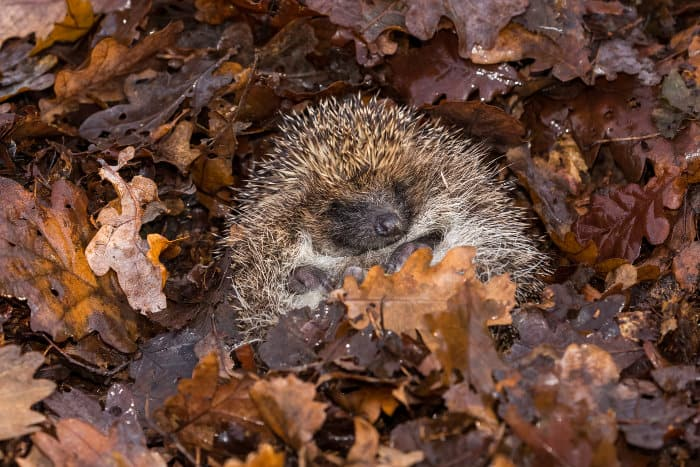 European hedgehog curled into a little ball, in fallen Autumn leaves