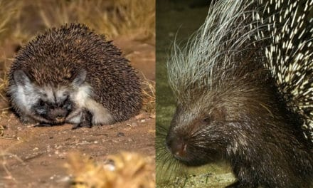 Hedgehog vs porcupine – What's the difference?