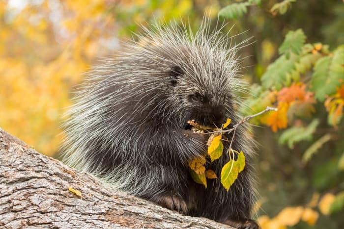 North American porcupine foraging
