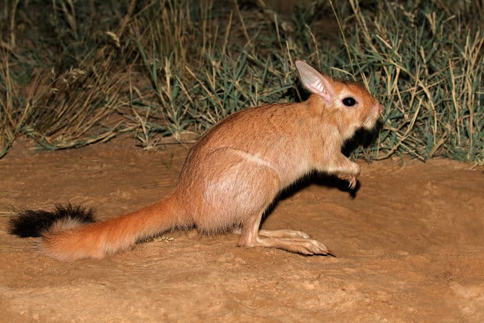A nocturnal South African springhare photographed in its natural habitat