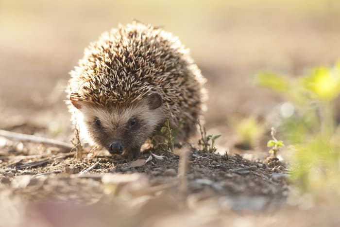 Southern African hedgehog in South Africa