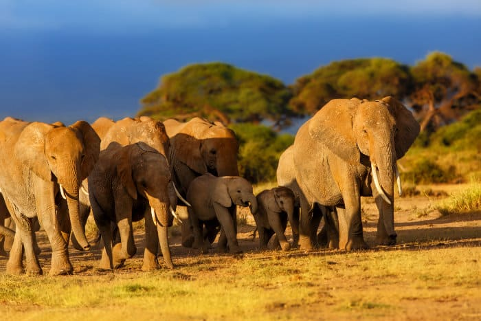 Breeding elephant herd with babies, led by the matriarch
