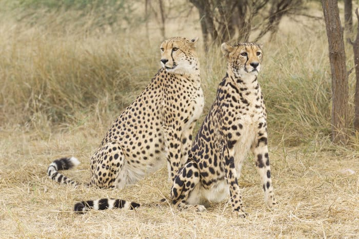 Male cheetah vs female king cheetah - spot the difference