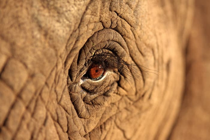 African elephant eye close-up shot, revealing its magnificent eyelashes, wrinkles and face