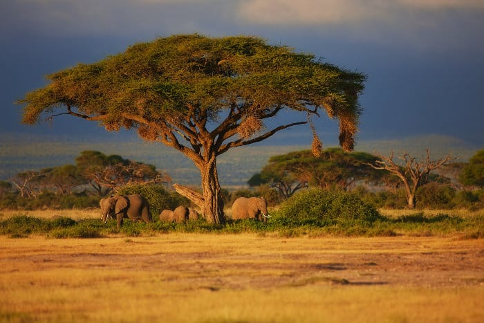 Elephant family under a tree in Amboseli National Park, Kenya