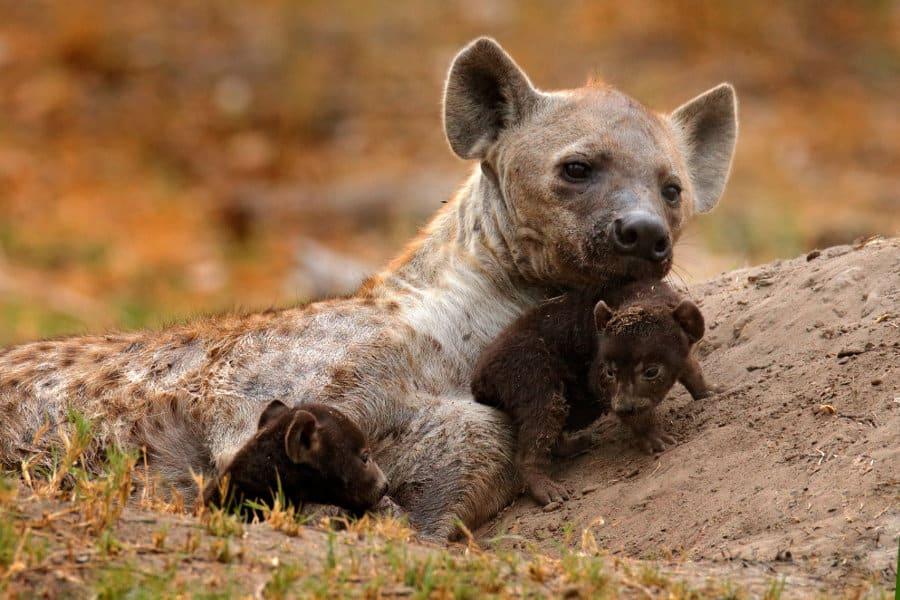 Hyena birth – The perils of a female hyena giving birth