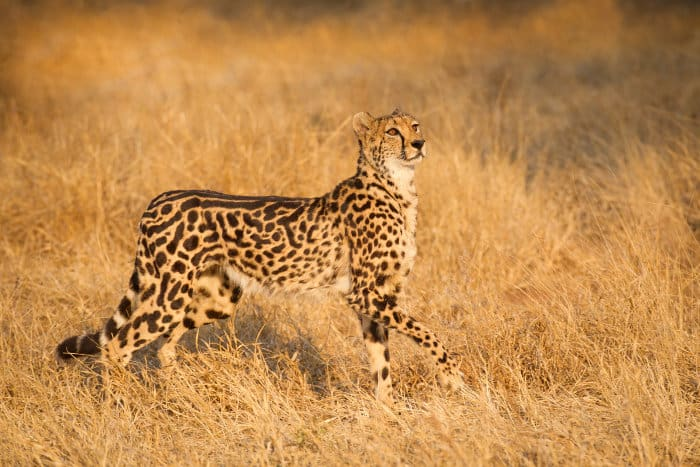 Female king cheetah in golden light, South Africa