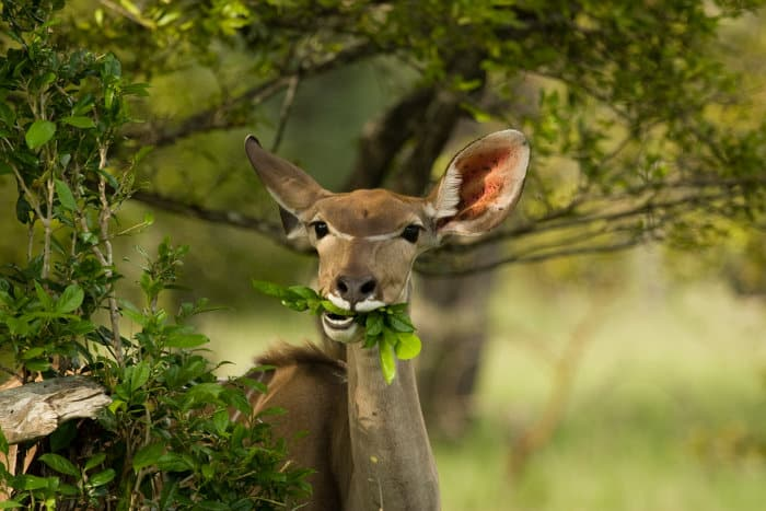 Female greater kudu chewing on some leaves