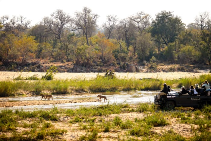A pride of lions crosses the river during a Sabi Sands game drive