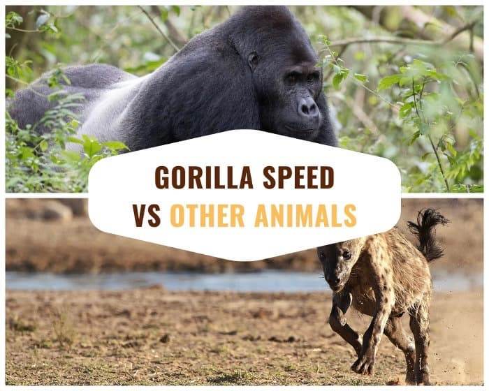 Gorilla speed compared to other African animals