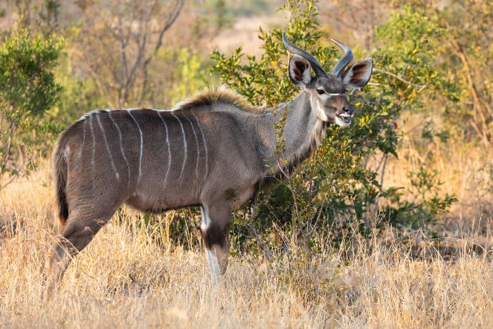 Full body portrait of a young adult greater kudu