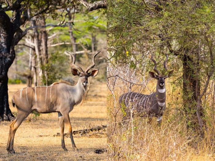 Greater kudu vs lesser kudu: the most important differences include size and number of stripes