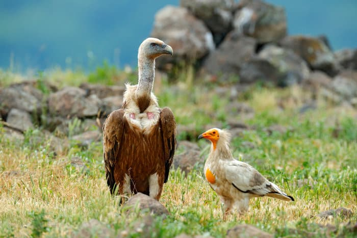Griffon vulture and Egyptian vulture side by side. Note the huge size difference between the two species.
