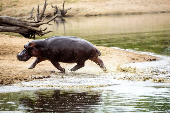 Hippo storming out of a waterhole in the Sabi Sands