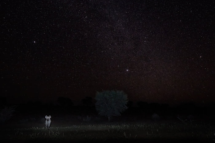 Spotted hyena under the starlit sky, Kgalagadi, Botswana