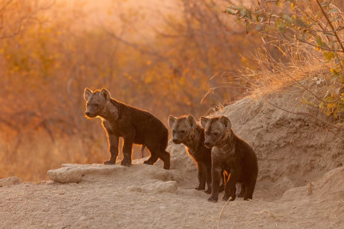 Hyena cubs at their den in early morning sunlight