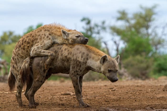 Spotted hyena mating. Notice the significant difference in size between the female and the male.
