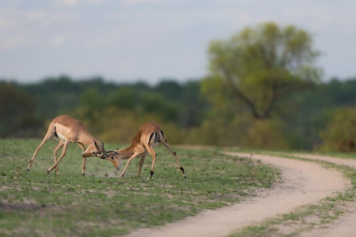 Impala rams fighting in the Greater Kruger, South Africa