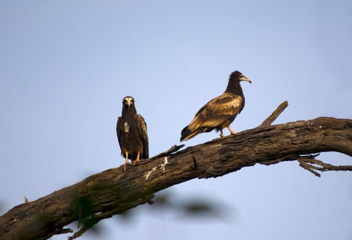 Immature Egyptian vultures perched on a dead tree