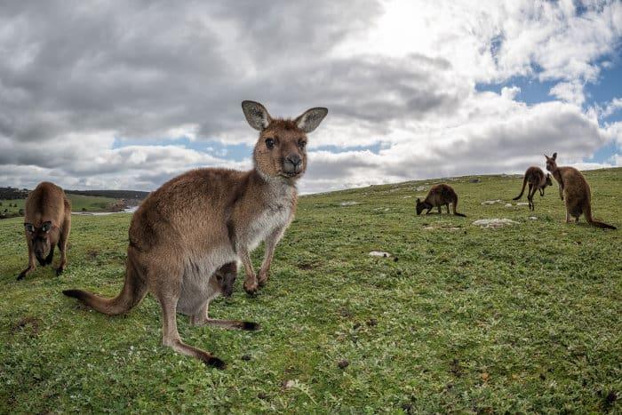 Curious kangaroos on Kangaroo Island, South Australia