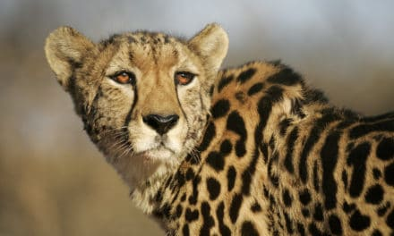 Top 10+ facts about the king cheetah: Africa's rarest cat