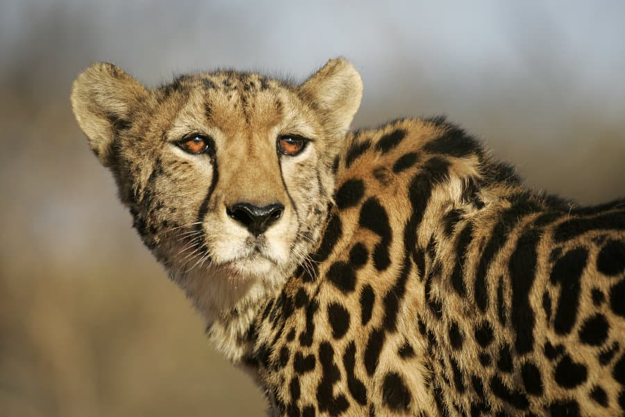 25 facts about the king cheetah: Africa's rarest cat