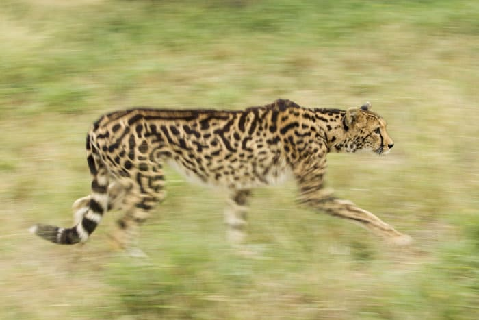 King cheetah on the hunt, against blurred background