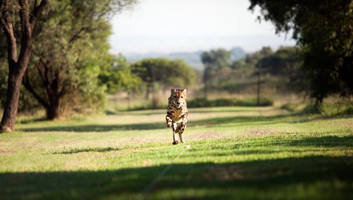 King cheetah running demonstration, at the Ann van Dyk Cheetah Centre near Hartbeespoort Dam