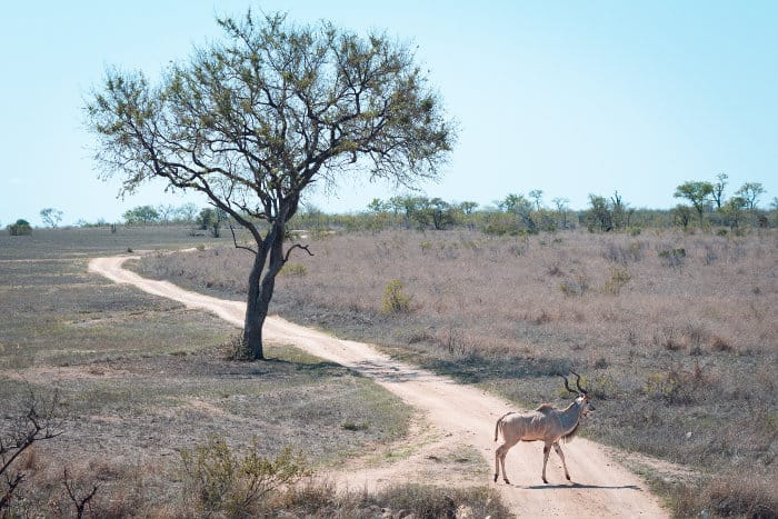Male kudu crosses a dirt track in the Sabi Sands