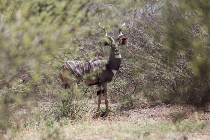 Lesser kudu in bushveld, Awash National Park, Ethiopia
