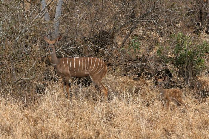 Female lesser kudu and her calf in Tsavo, Kenya