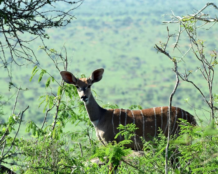 Lesser kudu in its natural habitat, Kenya