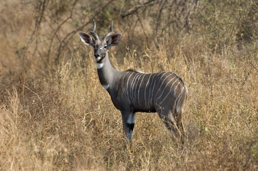 Lesser kudu animal guide – Facts about the striped antelope from Africa