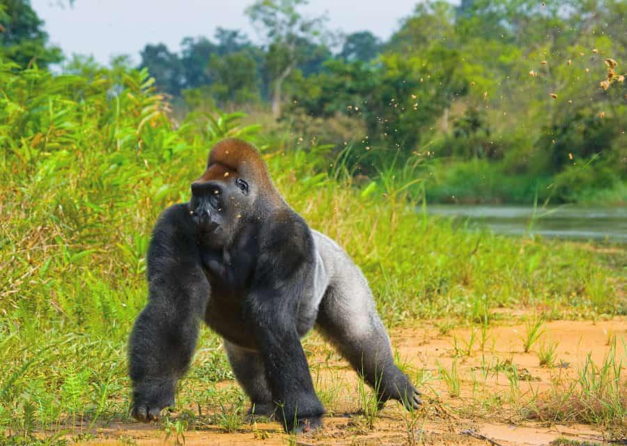 How fast can a gorilla run?