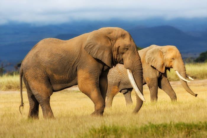 Male and female elephant walking across the plains in Amboseli, Kenya