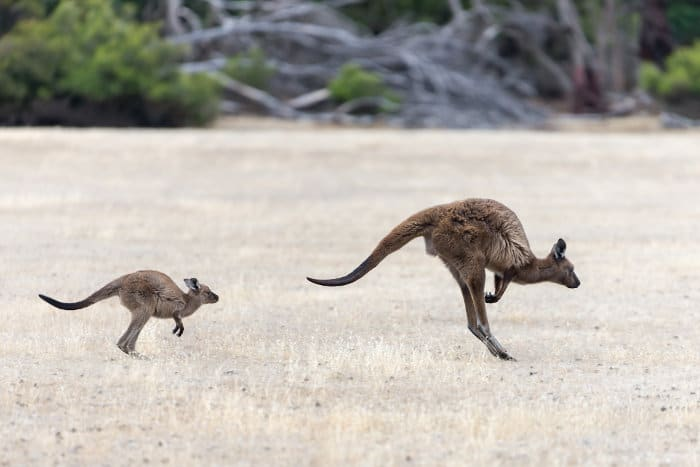 Mother and baby kangaroo hopping along at full speed in the Australian outback